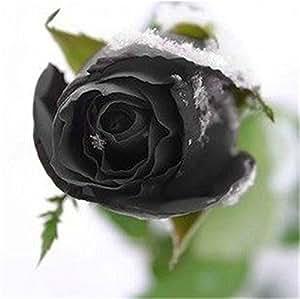 Adarl 50 pcs/Bag Louis XIV Rare Rose Flower DIY Plants Home Garden Rare Louis XIV Rose Seeds