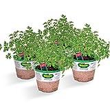 italian parsley - Bonnie Plants Flat Italian Parsley (4 Pack) Live Plants