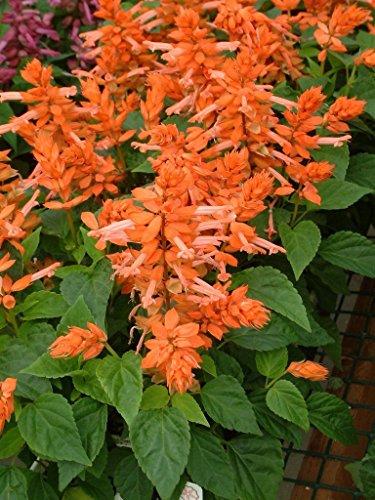 salvia Seeds salvia Firecracker Orange 50 Flower ()