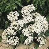 Outsidepride White Pentas Seed - 25 seeds