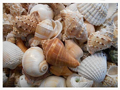 Sea Cottage (4 lbs Large Indian Ocean Shell Mix Seashells Beach Cottage Decor Nautical BULK)