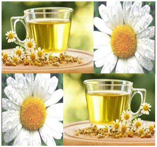 (1,500 ROMAN CHAMOMILE FLOWER HERB SEEDS PERENNIAL ~FRAGRANT ~ GROUND APPLE ~ TEA)