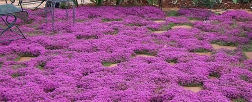Creeping Thyme Seeds, Heirloom, NON-GMO, Variety Sizes, 1.6 million by southeastseeds