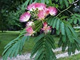 Live Plants Silk Mimosa Trees Fragrant Pink Flowering Albizia