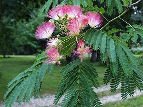 Live Plants Silk Mimosa Trees Fragrant Pink Flowering ()