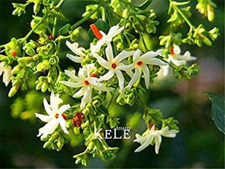 Amazon Com 40 Seeds Lot New Fresh Seeds Night Flowering Jasmine