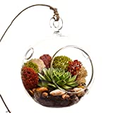 Bliss Gardens Succulent Terrarium with Moss and River Rocks / 4'' Round Glass