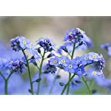 Chinese Forget Me Not Seeds -(Blue Cynoglossum amabile) Non-GMO Blue Flower Seeds for Planting in The Garden Home…