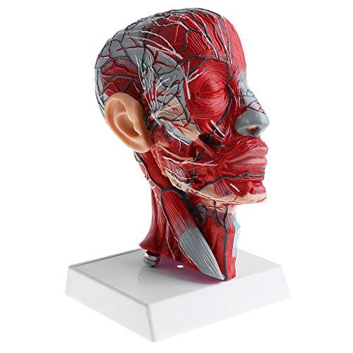 Fenteer 神経解剖学用モデル 人間頭部骨格 頚部血管モデル  模型 プロフェッショナル 医学教育研究用 高品質