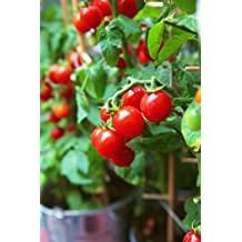 50 Tiny Tim Tomato Seeds - Patio Tomato, Dwarf Heirloom, Cherry Tomato - by RDR Seeds