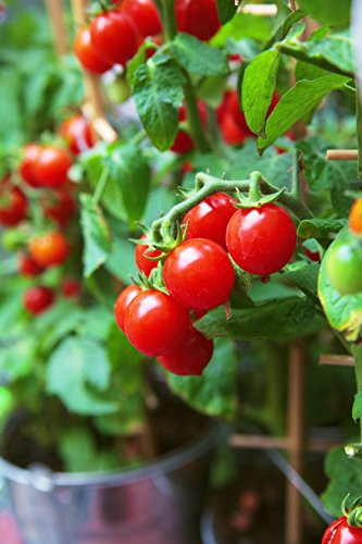 50 Tiny Tim Tomato Seeds - Dwarf Heirloom Cherry Tomato - by RDR Seeds