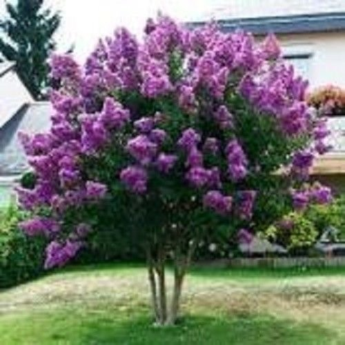 35+ Lilac Myrtle Tree Seeds/Perennial/Long Lasting