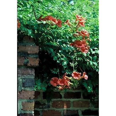 "Orange HUMMINGBIRD Vine ""Campsis Radicans"" 30+Perennial Seeds : Flowering Plants : Garden & Outdoor"