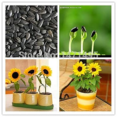 Kasuki 20 Dwarf Sunflower Bonsai Indoor & Outdoor Dwarf Mini Sunflower Bonsai Balcony Mini Plant: Garden & Outdoor