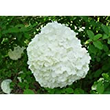 Chinese Snowball Bush (1-2 feet tall in trade gallon containers) Fast growing with tons of blooms!
