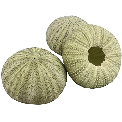 Ogrmar Natural Green Sea Urchin Shells for Crafts About 1.9
