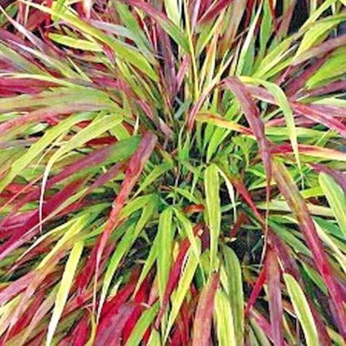 - 30 Beni Kaze Japanese Forest Grass Seeds - Hakonechioa macra 'Beni-Kaze'