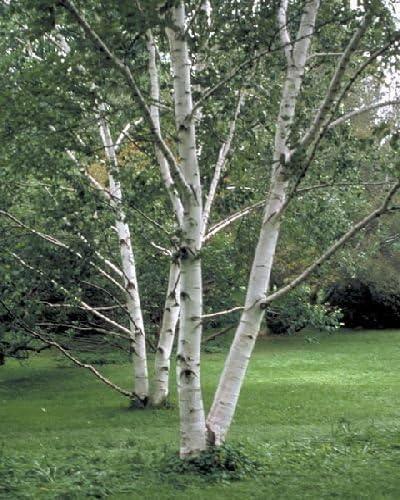 Betula papyrifera 50 x papel de abedul árbol Semillas tres semillas.