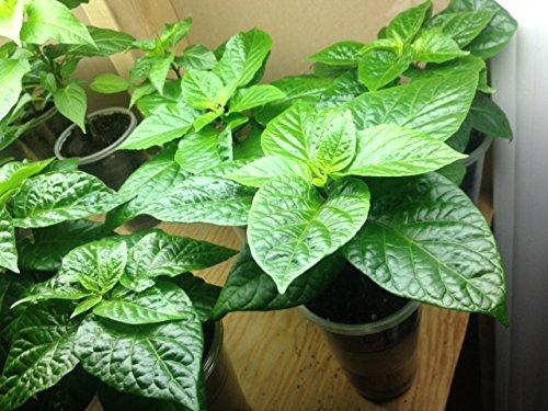Live Plant- Trinidad Pimento Pepper (1 plant) a.k.a.Trinidad Seasoning Pepper (C.chinense) Very tasty!