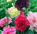 David's Garden Seeds Flower Hollyhock Majorette Double Mixed DGSHOL111IC (Multicolor) 500 Open Pollinated Seeds