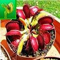 10pcs Venus Fly Trap Flower Seeds Dionaea Muscipula Giant Clip Garden Plant KECA