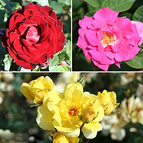 Climbing Rose Bush Collection in 3 Varieties bare root Yougarden 3_530010