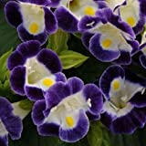200 Torenia Seeds Kauai Mix Pelleted Seeds BULK SEEDS