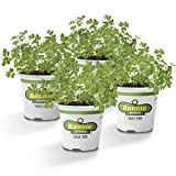 Bonnie Plants Flat Italian Parsley Live Herb Plants - 4 Pack, Biennial, Non-Gmo, Garnish, Seasoning, Salads, Palate Cleanser, 4-PACK