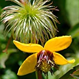 Clematis Tangutica seeds Flower Seeds from Ukraine