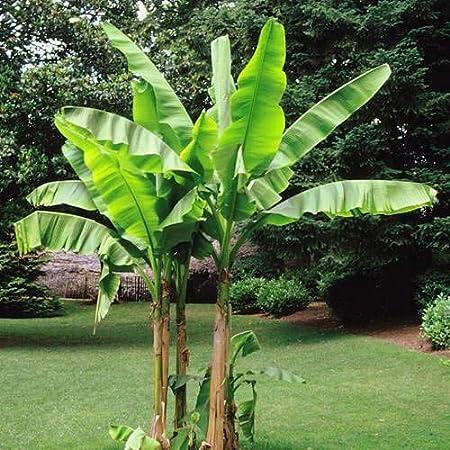 diese tolle Bananen-Palme kann 4 bis 6 Meter in Ihrem Garten hoch werden !