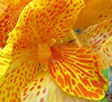 5 YELLOW CANNA LILY Indian Shot Canna Indica Flower SeedsComb S/H by Seedville