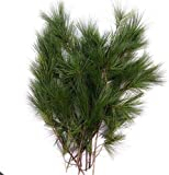 Tin Roof Treasure Fresh Clipped Natural Maine Eastern Pine Boughs, 1' to 2', Pack of 12