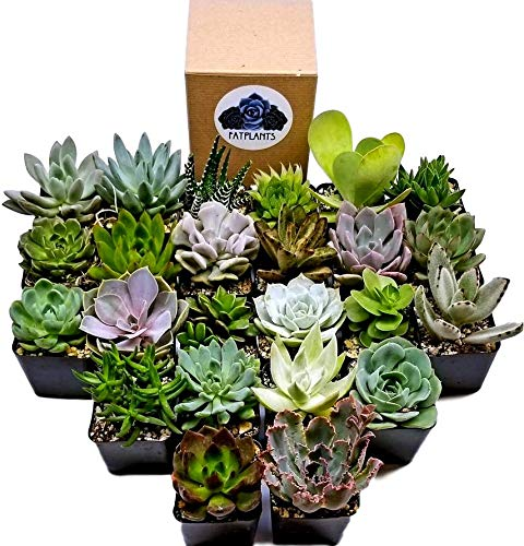 Fat Plants San Diego Premium Succulent Plant Variety Package. Live Indoor Succulents Rooted in Soil in a Plastic Growers Pot (24) by Fat Plants San Diego (Image #1)