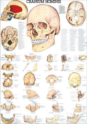 Ruediger Anatomie TA02LAM Der menschliche Schä del Tafel, 70 cm x 100 cm, laminiert