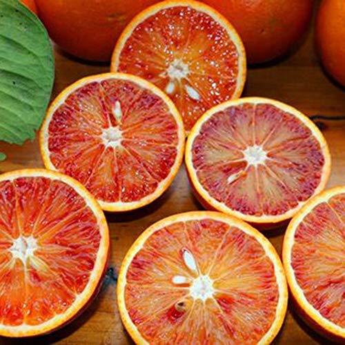 (20pcs: Valencia Oranges Large Blood Orange Fruit Navel Seed Home Garden Tree Plant 20pc)