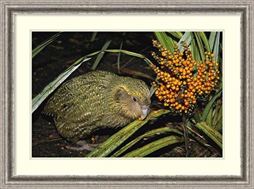 Framed Art Print 'Kakapo flightless feeding on Astelia berries, Codfish Island, New Zealand' by Tui De ()