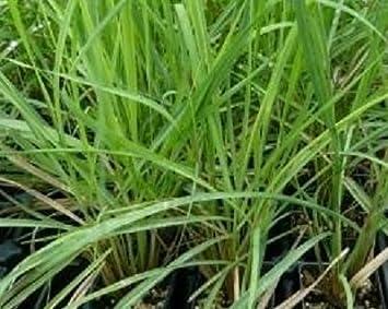Amazoncom Citronella Grass Live Plant Geranium Plants