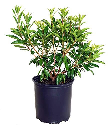 Mountain Laurel Shade - Kalmia lat. 'Carousel' (Mountain Laurel) Evergreen, white flowers with burgundy, #3 - Size Container