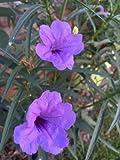 Mexican Petunia Ruellia Brittoniana Plants Purple Plant Flowers