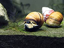 10 LARGE (1/2-2+ inches) Japanese Trapdoor Snails (Viviparus malleattus) - Live Snails by Aquatic Arts