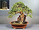 5 Green Ficus sycomorus Tree Cutting - An amazing and special tree