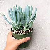 Blue Chalksticks Senecio Serpens Senecio mandraliscae (4'' + Clay Pot)