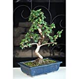 9GreenBox - Fukien Tea Bonsai with 6' Ceramic Pot