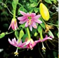 New Banana Passion Fruit , Passiflora mollisima , Vine 10+Seeds ( Edible , Fast , Showy )