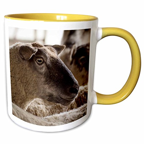 3dRose Danita Delimont - Sheep - Sheep, Freeport, Maine - 11oz Two-Tone Yellow Mug - Maine Outlets Freeport