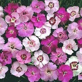 Dianthus plumarius Ipswich Pinks 500 seeds
