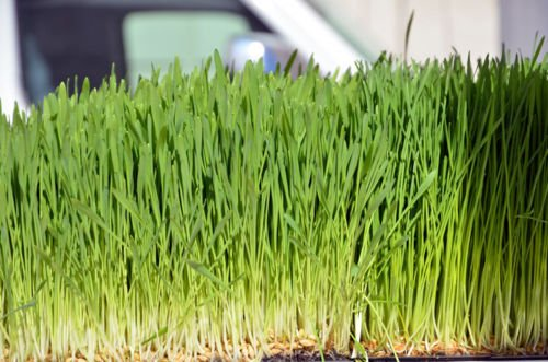 Bulk Oatgrass Seeds Oat Grass Seed Cat Dog Pets Feed Semilla Avena Sativa