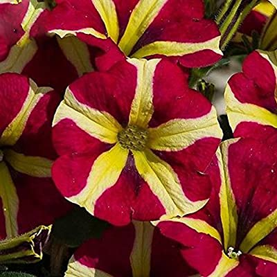 New Rare Hierloom Petunia Heirloom SeedsHarvest by ourselves, 200 seeds, bonsai garden home hardy flowers all seasons planting : Garden & Outdoor