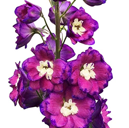 Delphinium Seeds 150 Seeds - Picotee Purple - UPC 600188194692 & 1 Free Plant Marker (Delphinium Seeds)