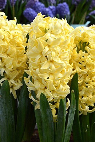 10PC Hyacinth Yellow Queen Bulbs, sweet smelling flower with a rich yellow color